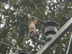 monyet nempel di SUTM